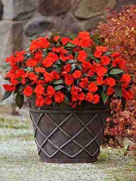 Бальзамін новогвінейський Divine Orange Bronze Leaf, темно-оранжевий (5 шт)
