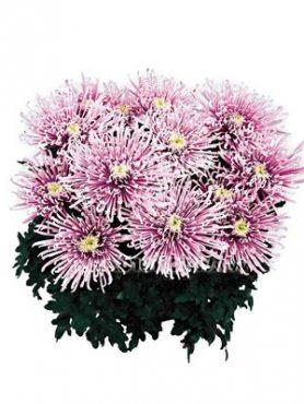 Хризантема горшечная Chusan (3 шт)