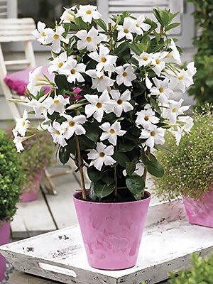 Дипладения Bloom Bells White (1 шт) - 1