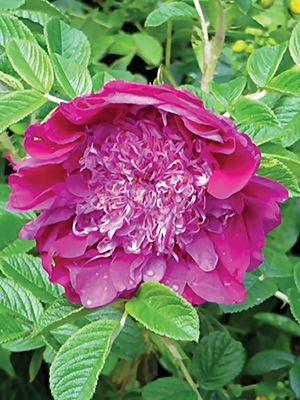 Роза морщинистая Pivoine (1 шт) - 1