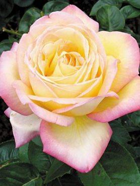 Роза чайно-гибридная Peace(1 шт)