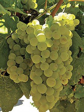 Виноград Шардоне (1 шт)