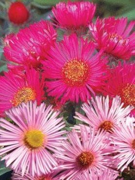 Астра новоанглийская Lucida, розово-рубиновая смесь (60 шт)