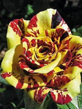Роза чайно-гибридная Atlas Yellow (1 шт)