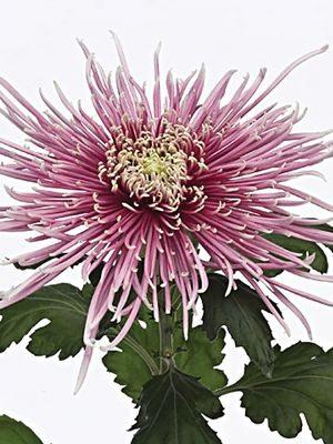 Хризантема срезочная Dilana Pink (3 шт) - 1