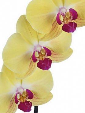 Фаленопсис гибридный Goldion (1 шт)