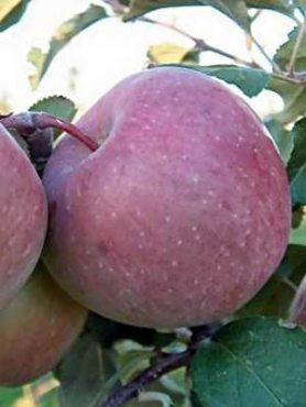Яблоня Фуджи (1 шт)