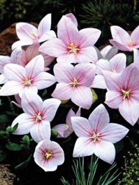 Платикодон крупноцветковый Florist, розовый (20 шт)