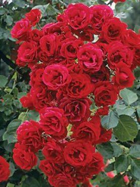 Роза плетистая Sympathie (1 шт)