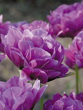 Тюльпаны Махровые поздние Blue Spectacle 1011 (20 шт)