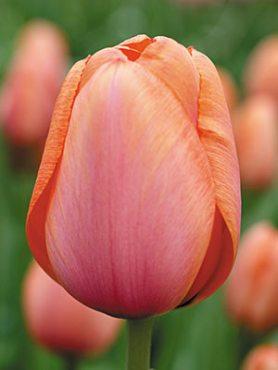Тюльпани Дарвиновы гібриді. Apricot Impression 1011 (3 шт)