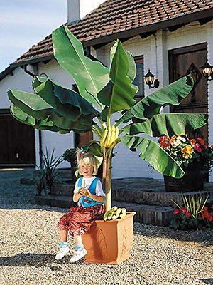 Банан Басі (1 шт) - 1