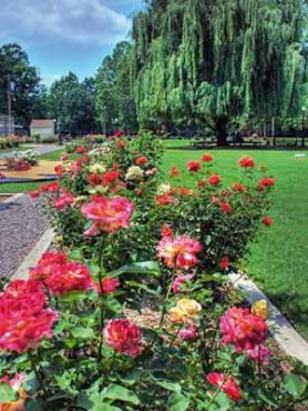 Розы чайно-гибридные, смесь (3 шт)