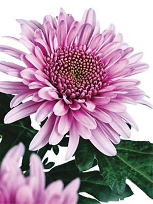 Хризантема срезочная Eleonora Lilac (3 шт) - 1