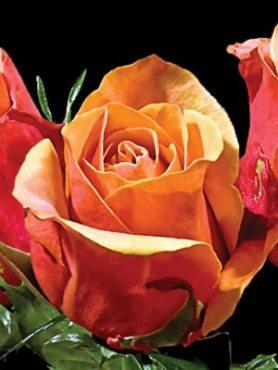Троянди чайно-гібридна Cherry Brandy(1 шт)
