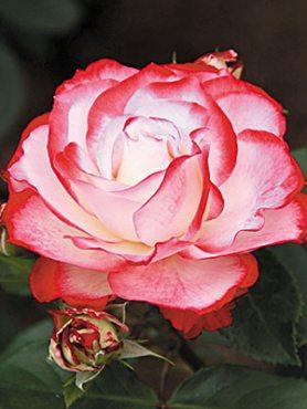 Роза флорибунда Jubile du Prince de Monaco(1 шт)