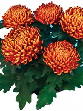 Хризантема горшечная Cocori (3 шт)