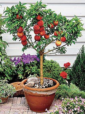 Персик колоновидный Балконелла (1 шт) - 1