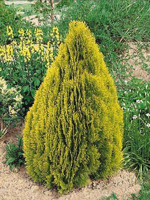 Туя восточная Pyramidalis Aurea (1 шт) - 1