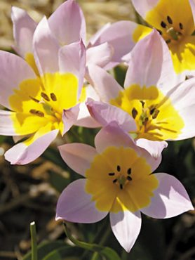 Тюльпан скальный 67 (3 шт)