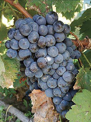 Виноград Мерло(1 шт) - 1