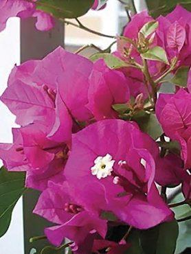Бугенвілея Vera Purple (1 шт) осінь