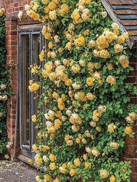 Роза шраб Graham Thomas(1 шт)