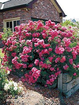 Роза почвопокровная Pink Carpet (1 шт)