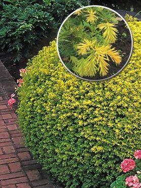 Тисс ягодный Summergold (1 шт)