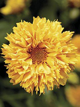 Дівочі очка (кореопсис) великоцвіті Castello Pompon Yellow (1 шт)
