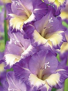 Гладиолус садовый Belladonna (5 шт)
