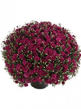 Хризантема мелкоцветковая низкорослая Harlem (3 шт)