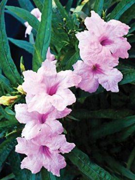 Руеллія Бриттона Southern Star Pink, рожева (5 шт)