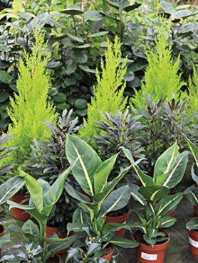Смесь декоративнолистных комнатных растений , 3 шт