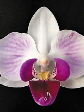 Фаленопсис гибридный Gentle Morning (1 шт)