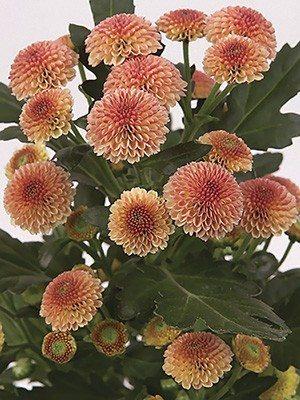 Хризантема срезочная Nora Salmon (9 шт) - 1