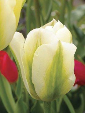 Тюльпани Зеленоквіткові Spring Green 1112 (100 шт)