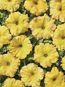 Петуния ампельная крупноцветковая Лавина Желтый каприз F1 (10 шт)