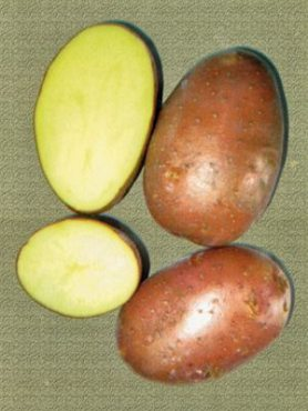 Картофель Ред Леди (1 кг)