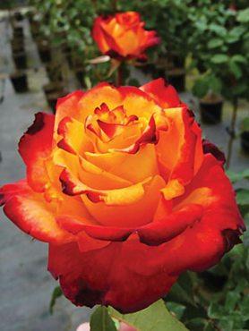 Роза флорибунда Mein Muenchen(1 шт)