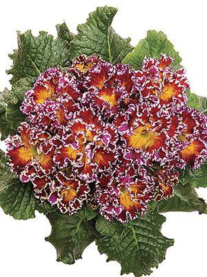 Первоцвіт звичайний (акауліс) Coco Red F1 - 1