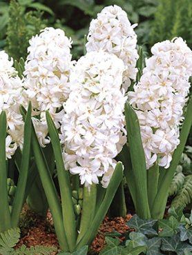 Гіацинт садовий Snow Cristal 1415 (100 шт)