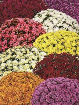 Хризантема мелкоцветковая низкорослая смесь сортов (30 шт)