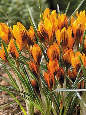 Шафран Баланси Orange Monarch 5+ (3 шт)