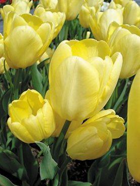 Тюльпаны Многоцветковые Fats Domino 1112 (3 шт)