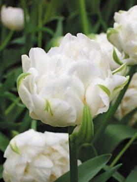 Тюльпаны Махровые поздние Mount Tacoma 1011 (100 шт)