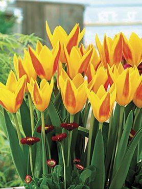 Тюльпаны Кауфмана Giuseppe Verdi 1011 (100 шт)