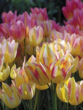 Тюльпаны Многоцветковые Antoinette 1011 (3 шт)
