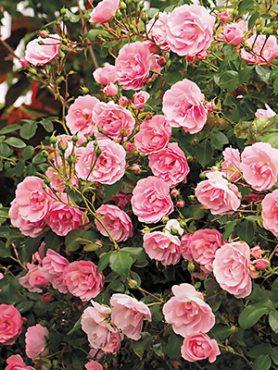 Роза почвопокровная The Fairy(1 шт)