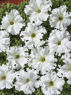 Петуния бахромчатая крупноцветковая Афродита белая F1 (5 шт)